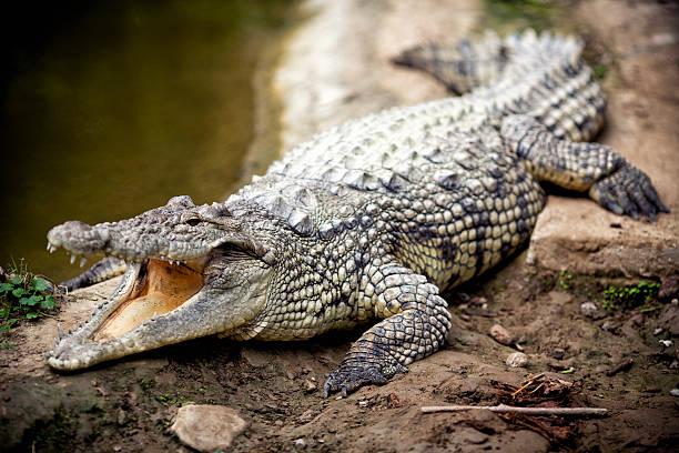 soñar con cocodrilos pequeños