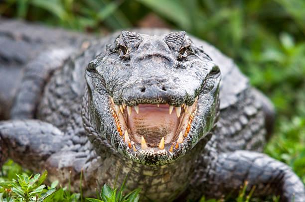 soñar con cocodrilos grandes