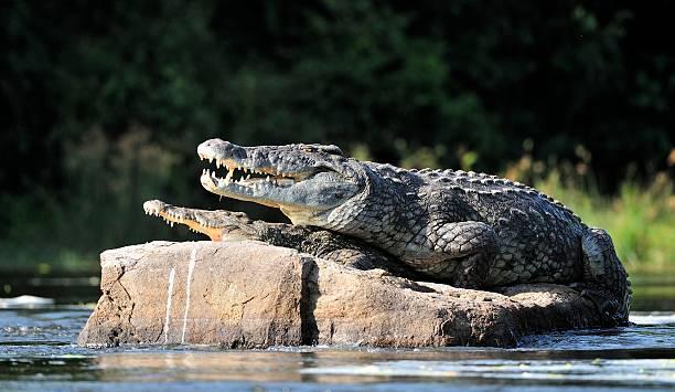 soñar con cocodrilos muertos