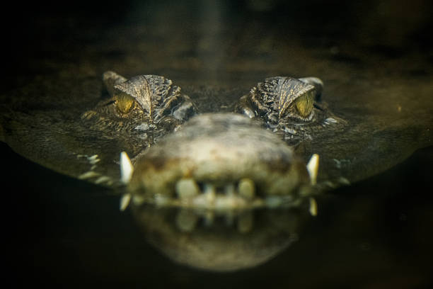 soñar con cocodrilos mansos