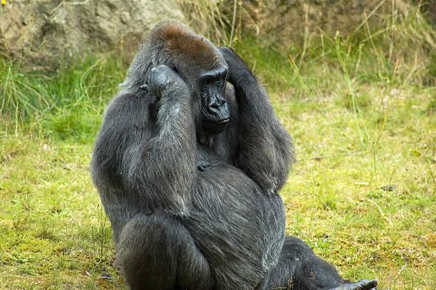 soñar con gorilas bebes
