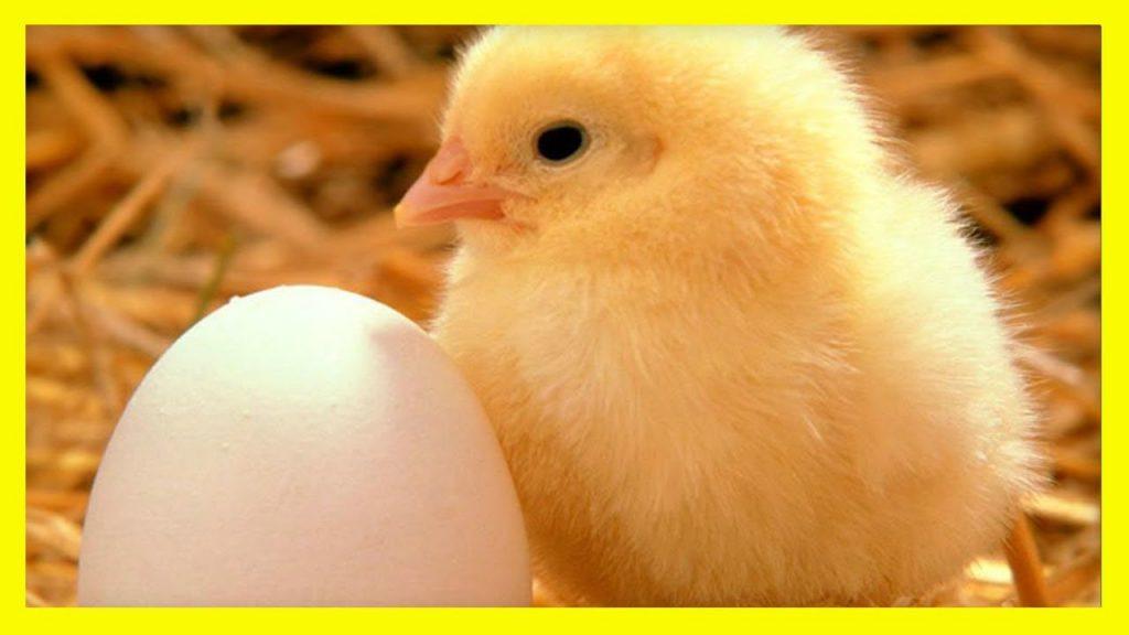 soñar con pollitos blancos