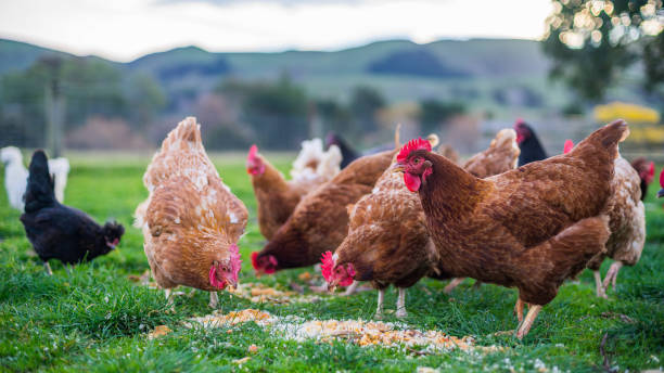 soñar con gallinas blancas