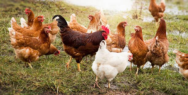 soñar con gallinas y gallos