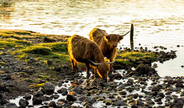 soñar con vacas y toros