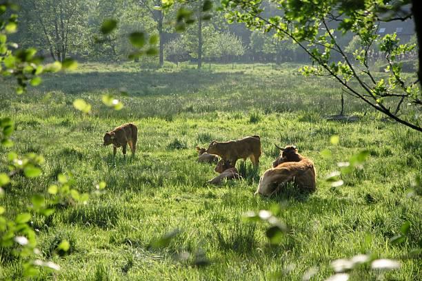 soñar con vacas blancas