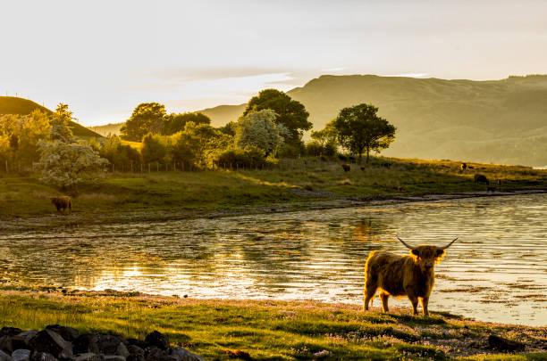 soñar con vacas cafes