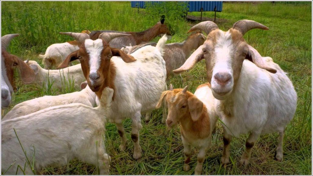 soñar con cabras