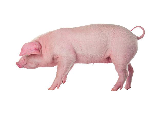 soñar con cerdo negro