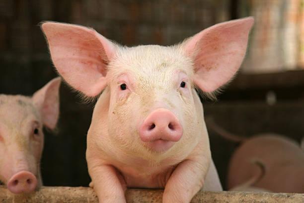 soñar con cerdos bebes