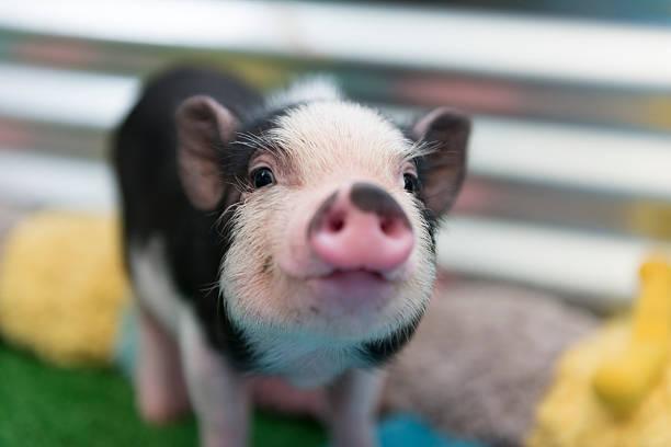 soñar con cerdo blanco