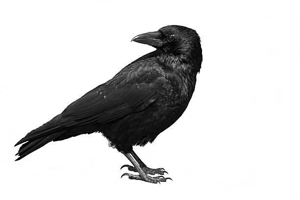 soñar con cuervo negro