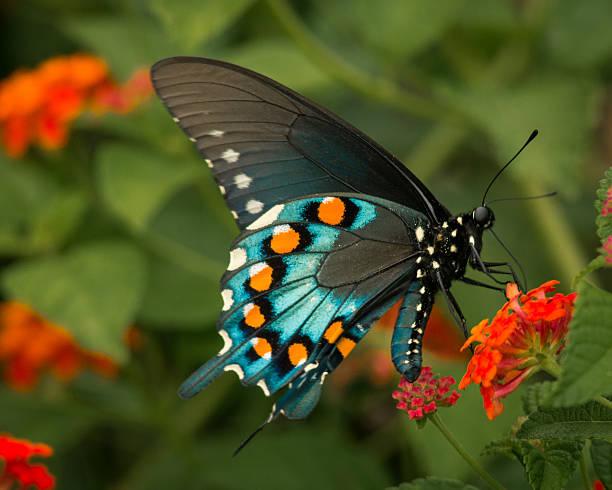 soñar con mariposas azules