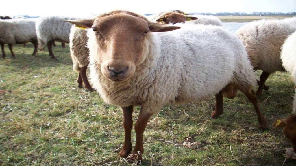 soñar con ovejas blancas