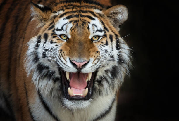 soñar con tigres cachorros