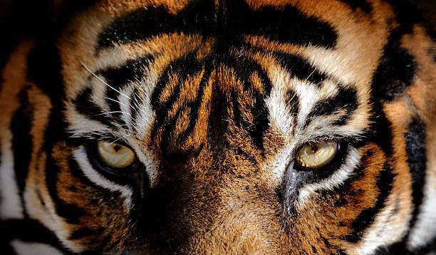 soñar con tigres en el agua