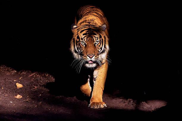 soñar con tigres de mascota