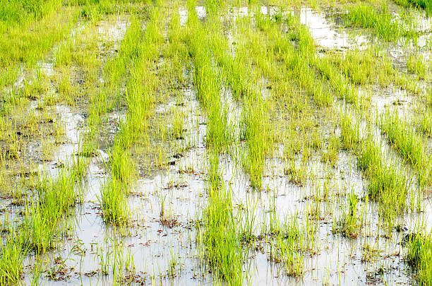 soñar con arroz abundante
