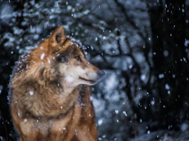 soñar con lobos que significa