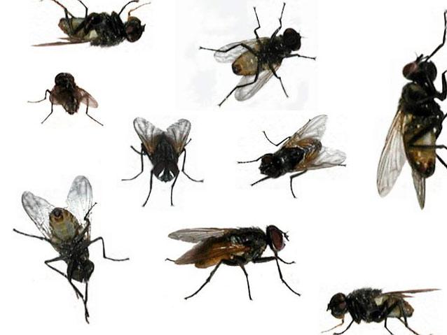 soñar con moscas bastantes