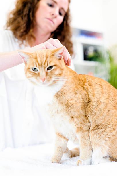 soñar a un gato con pulgas