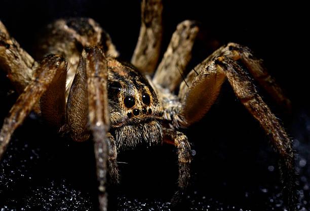 soñar con arañas marrones