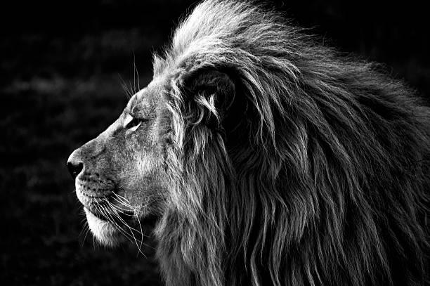 soñar con leones enjaulados