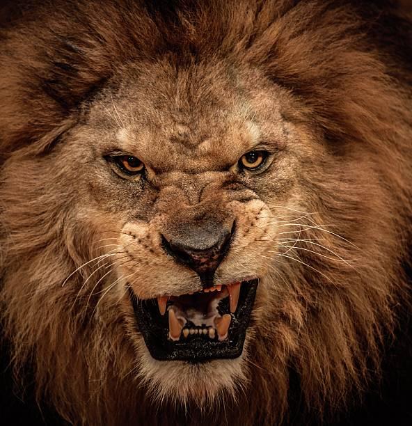 soñar con leones mansos