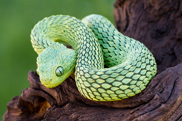 soñar con serpientes amarillas