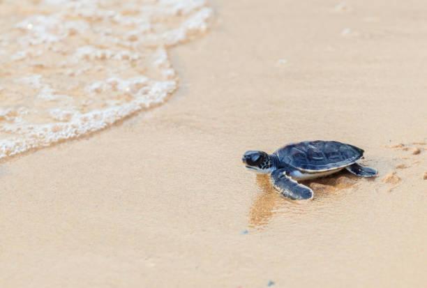 soñar con tortugas gigantes