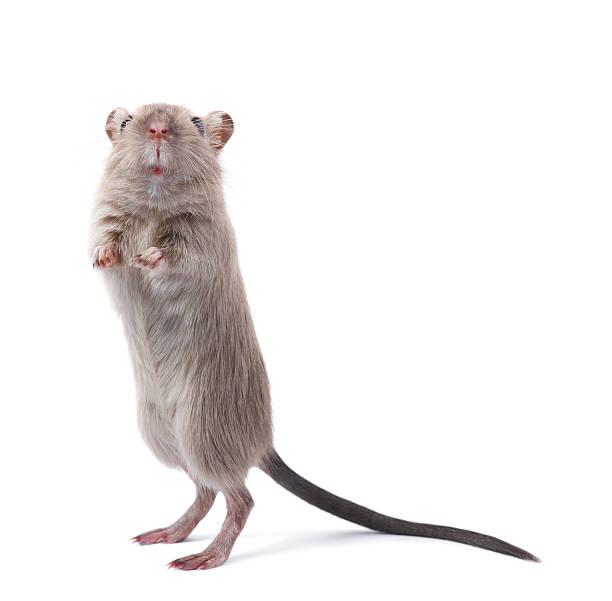 soñar con ratones recien nacidos