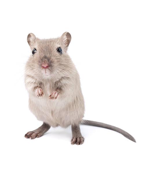 soñar con ratones y ratas
