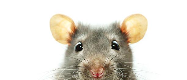 soñar con ratones en la cama
